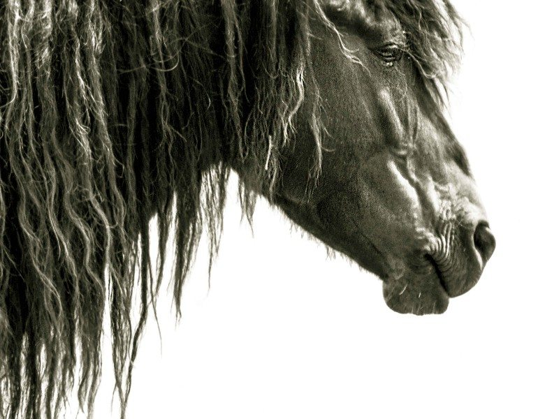 Sable Island long mane for website (1 of 1)