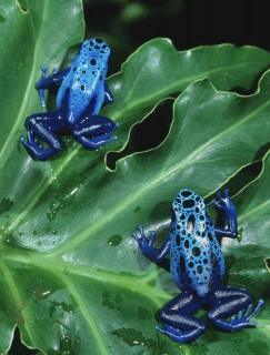 Photo by John Netherton: Blue Dart Poison Frogs – Dart Poison Frogs from the rainforests of the Americas come in a dizzying array of colors and patterns. Some are used by native tribes to poison the tips of blowdarts for hunting. Complex compounds in the skin secretions of dart frogs are now being studied by scientists for potential medical use. These hopping pharmacies have already provided a possible substitute for morphine which is non-addictive and 100 times more potent.