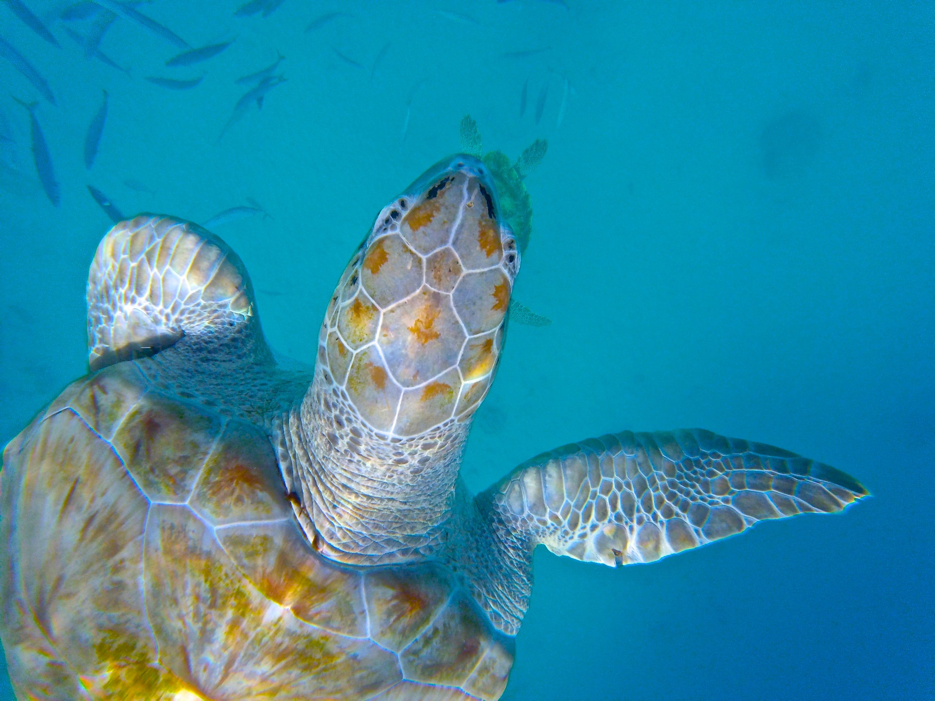 Swimming with sea turtles in the crystal-clear waters of Barbados. Photo by Kimberley Johnson, Ottawa Magazine.