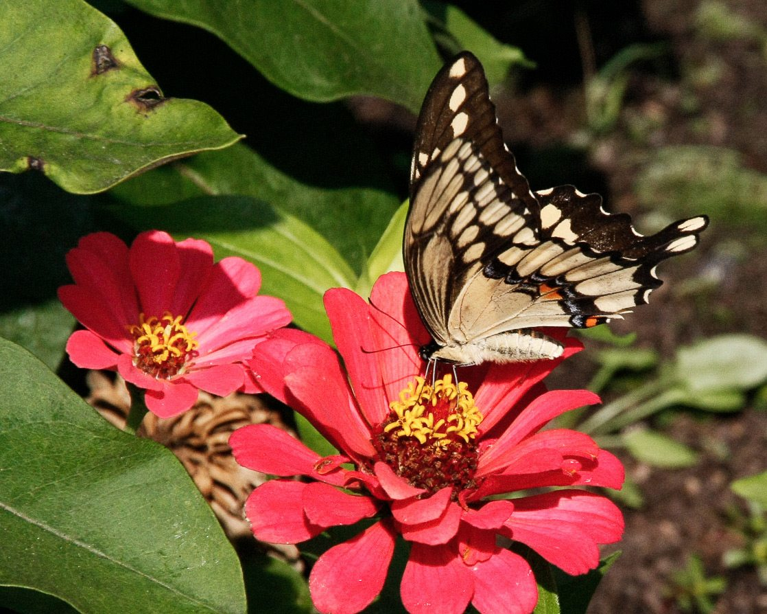Giant Swallowtail. Photography: courtesy of Mike Gallinger